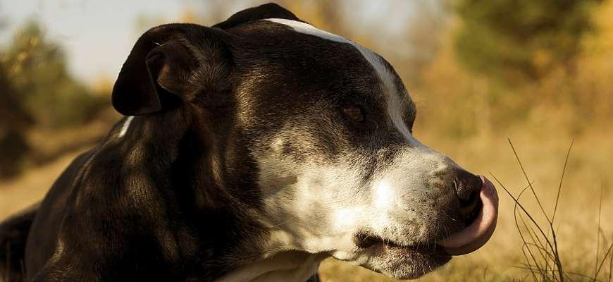 Stafordšírskýbulteriér aneb Amorek psího světa