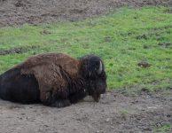 Šumavský bizon - Botanická zahrada Prášily
