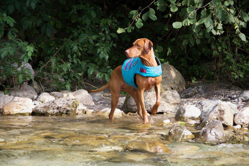 Dog Vizsla Animal Summer Walking