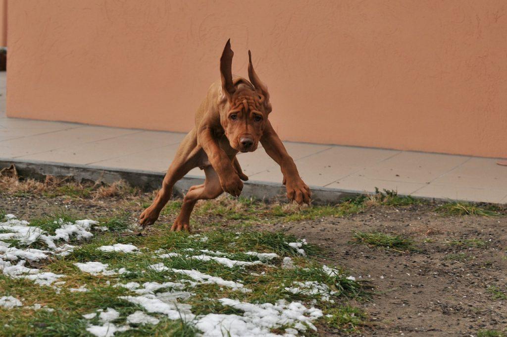 Hungarian Vizsla Dog Loyalty Beagle