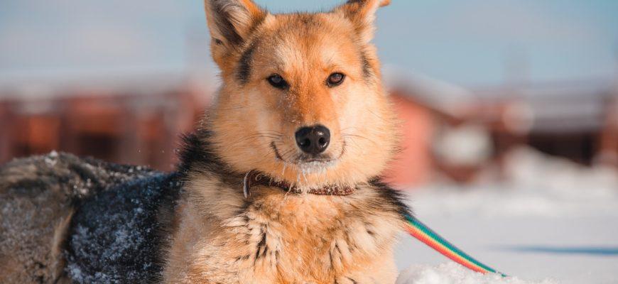 Dog Pet Snow Animal Leash  - 99mimimi / Pixabay