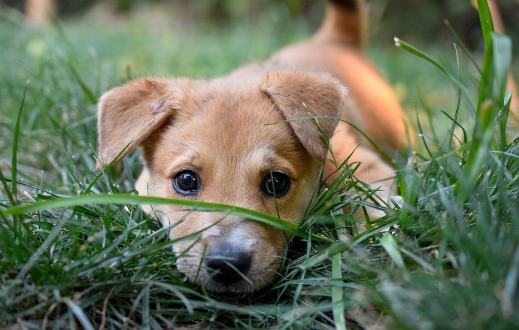 Puppy Dog Summer Grass Cute  - trwirth / Pixabay
